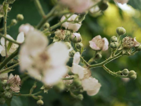 Brombeer Blüten