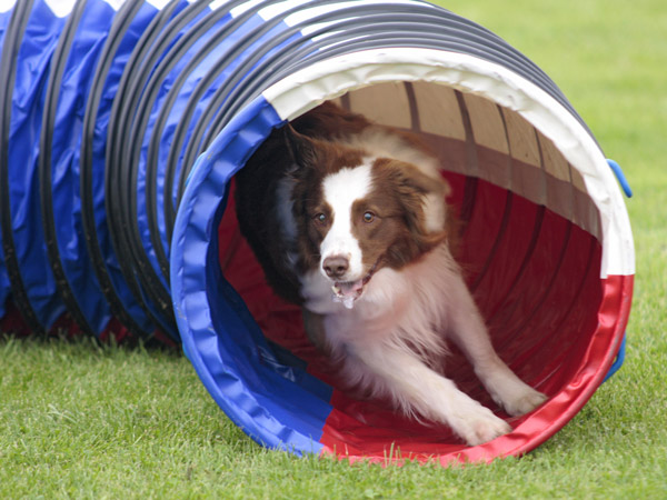 Hund beim Agility Training