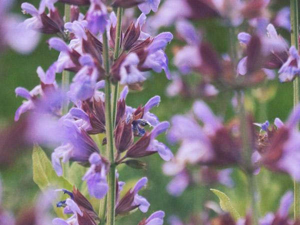 Gartensalbei Blüte